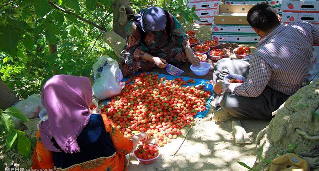 45 هەزار تەن شلیك لە پارێزگای كوردستان بەرهەم دەهێنرێت