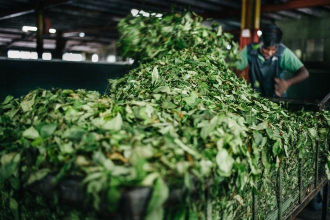 بەوێنە؛ 150 ساڵە چا لە سریلانكا بەرهەم دەهێنرێت